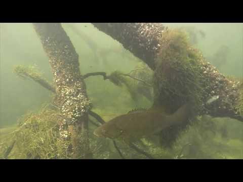 Diving Lake Zoar (Walleye!!)