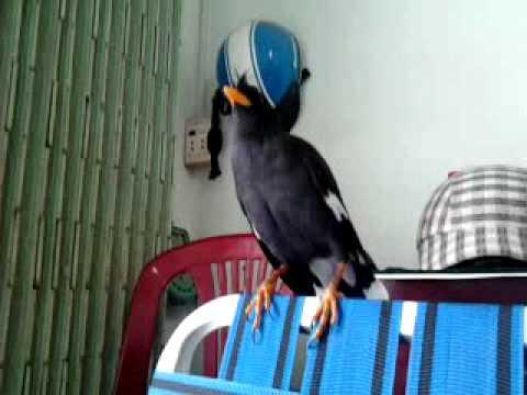 chim sáo đen
