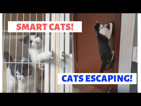 SMART CATS! | Funniest Videos of Cats Caught Escaping | Here are proof that cats are actually SMART!