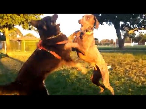Husky Shepherd Accused Of Fighting Dirty By German Shorthaired Pointer At Dog Park