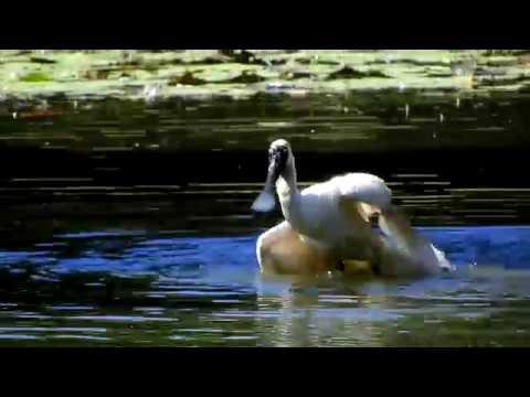 Видео: Spoonbill bathtime