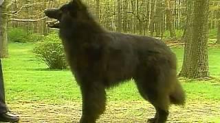 Belgian Sheepdog  AKC Dog Breed Series