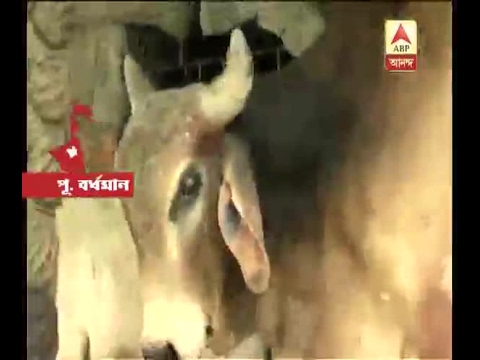 People of Katwa are terrified of an Ox