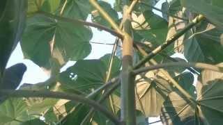 Kako rezati grane tijekom rasta paulovnije