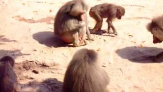 Baboon Oral Sex