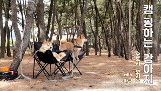 [시바쓰리家]캠핑하는 강아지(루프탑텐트)