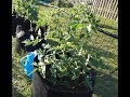 How To Prune Tomato Plants For Productivity And Disease Resistance