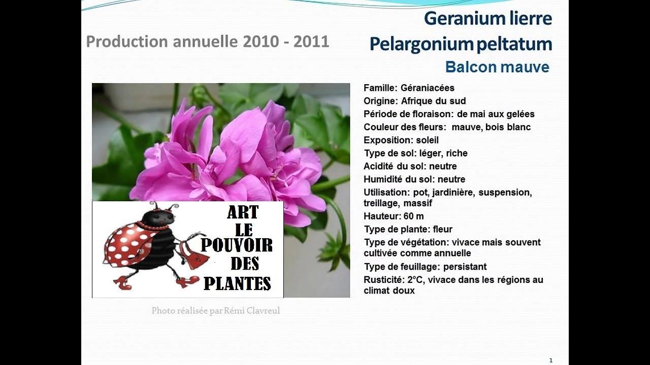 Conseils jardinage geranium lierre pelargonium balcon for Plante annuelle