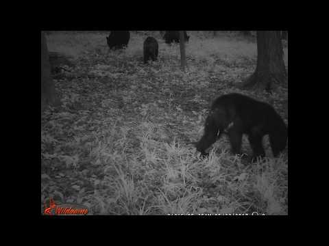 Black Bear picture slideshow, West Valley...