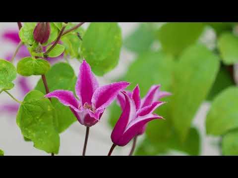 Faszination Clematis. Vielseitige Kletterpflanzen mit besonderen Ansprüchen