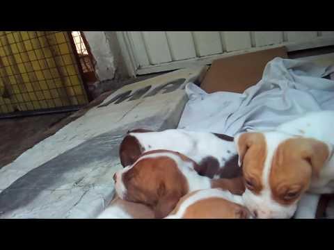 Venta de cachorros pitbull baratos (perros finos)