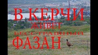 В Керчи живет бесстрашный фазан
