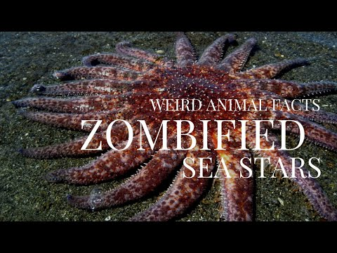 Why Are These Starfish Killing Themselves? | Weird Animal Facts 1