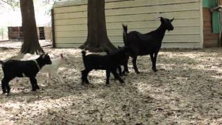 How to Visit a Goat Farm & Pick Out a Baby Goat for Goat Milk & Goat Cheese