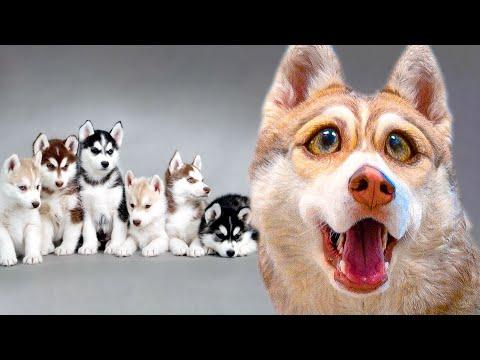 ПОКАЗЫВАЕМ ЩЕНКОВ!! БУБЛИК СТАЛ ПАПОЙ!!! (Хаски Бандит) Говорящая собака