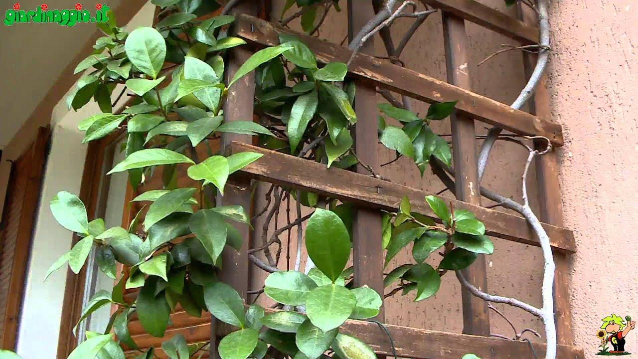Clematis Resistenti Al Freddo piante rampicanti resistenti al freddo: quali sono le più