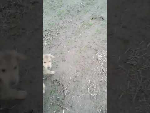 Русские гончие щенки 1.2 месяца роботают по касуле