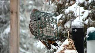 Northern Flicker At Suet Feeder