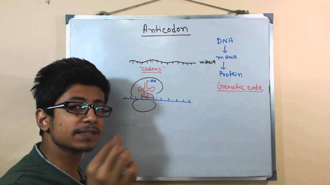 Anticodon And Codon