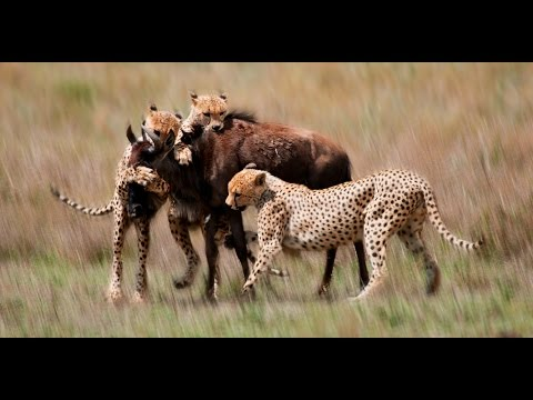 On the hunt - Serengeti cheetahs