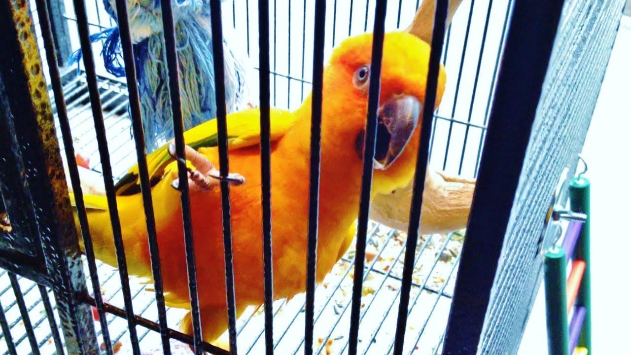 Sun Conure (Sun Parakeet)