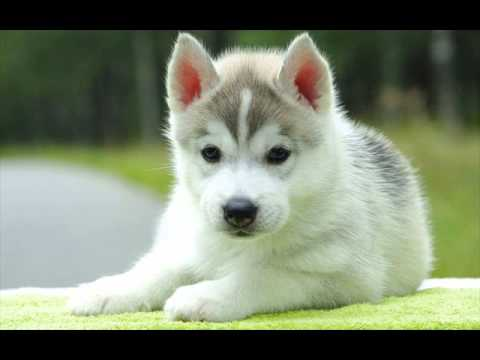Best 25  Cute husky puppies ideas on Pinterest