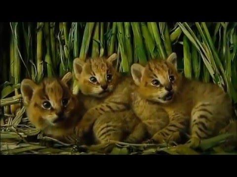 Meskipun Kucing Hutan ,Lucu aja tingkahnya