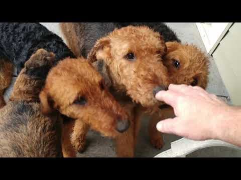 Our Retirement Airedale Terriers For Donation & Older Girl Puppies On December 21, 2018
