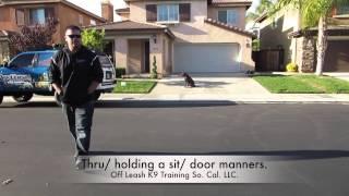 Cody 7mo Old Lab Transformation: Murrieta California Dog Trainers