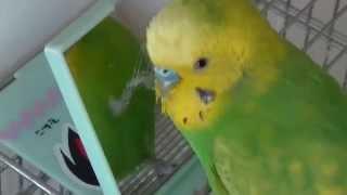 おしゃべりインコのピッピ動画です。 今日のピッピはお気に入りの鏡にお...