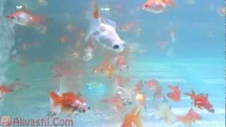 Золотая рыбка - форма Красно-белый Телескоп. Аквариумные рыбки. Аквариумистика.(Золотая рыбка. Подробнее на сайте: http://www.akvastil.com/news/new/zolotaia-rybka-forma-krasno-belyi-teleskop-68 ..., 2013-03-23T10:16:35.000Z)