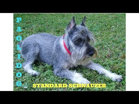 STANDARD SCHNAUZER   TOP 10 INTERESTING FACTS