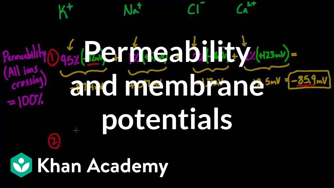 Permeability and membrane potentials (video) | Khan Academy