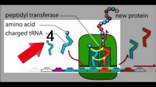 MCAT®: The Expression of Genes - Overview of Translation