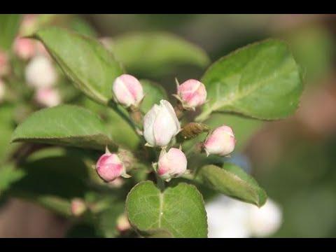 Какие яблони предпочтительны для Сибири | филаткина | урожайные | комнатные | растения | садовые | садовод | людмила | яблони | фрукты | урожай