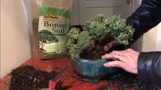 How To Make Bonsai Plants Making Bonsai Guzmansgreenhouse Com