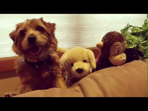 Mr. Pimms the Norfolk Terrier 2016