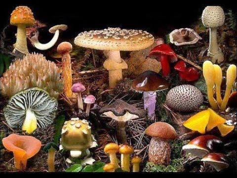 гриб спорынья