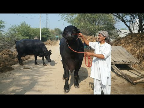 FOR SALE-Pure Murrah Bull GOLU Available For Buyers.(SULTAN Son)(Age 3.2) @9813380242- Subhash Dairy