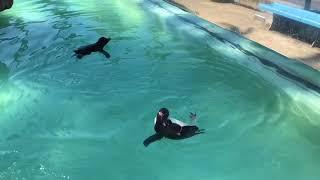 油壺マリンパーク  キタイワトビペンギン