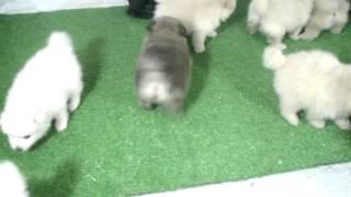 Cachorros Pomerania en Venta
