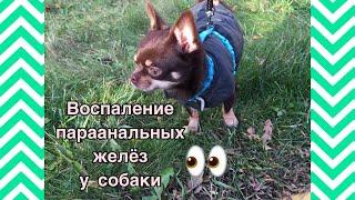 Воспаление параанальных желёз у собак | Наша история