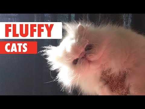 Fluffy Cats Video Compilation