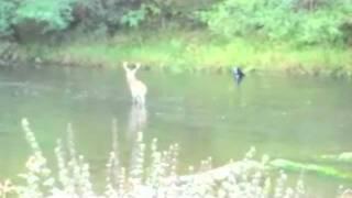 film video de thierry  d'un cerf dans la semois au camping a herbeumont