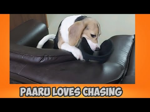 Beagle puppy loves to get chased by daddy.