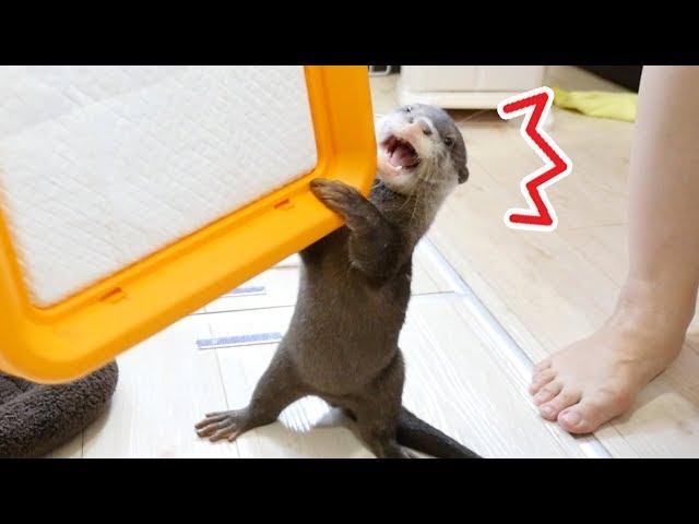【大切なもの】自分のトイレが奪われると勘違いするカワウソのビンゴ(Otter Bingo, calm down! we are not going to steal your potty)