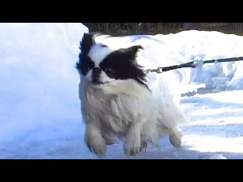 Dora the Japanese Chin 2017