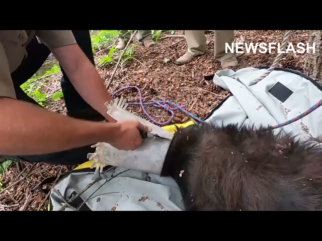 Rangers Save Bear With Plastic Stuck On Head