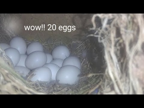 My lovebirds laid 20 eggs !!!