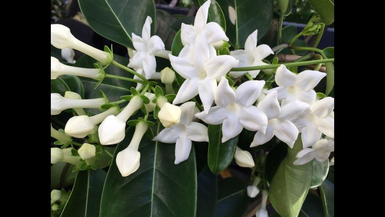 Бутоны розовые, а распустившиеся цветки белые или желтые (без запаха), собранные по 15-20 штук в кистевидное соцветие. Цветет весной, а цветение начинается в молодом возрасте. Жасмин самбак jasminum sambac. Жасмин многоцветковый jasminum polyanthum. Жасмин самбак jasminum sambac.